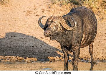 Starring Buffalo bull in the Kruger - Starring Buffalo bull...