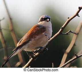 Red-backed Shrike, Lanius collurio