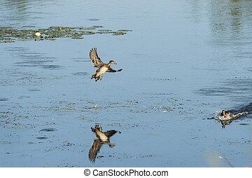 Wood Duck on final approach - Male Wood Duck startles female...