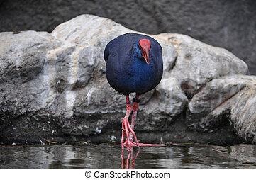 Western swamphen bird animal - Western swamphen (Porphyrio...