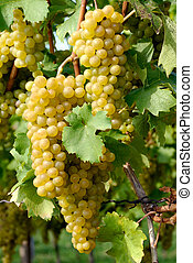 Ripe grapes in a vineyard - Close-up of ripe golden grapes...