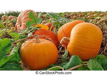 Pumpkins on a field - Pumpkin plants with rich harvest on a...