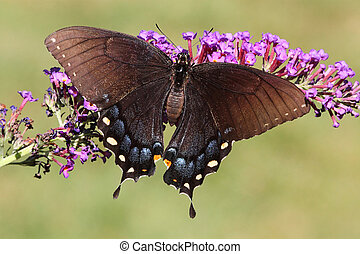 Female Tiger Swallowtail (papilio glaucas) Butterfly -...