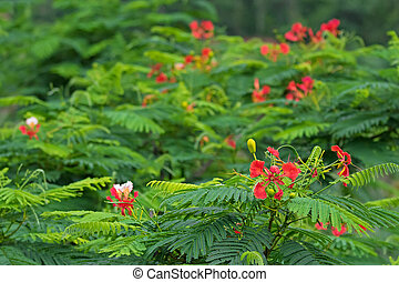Red flowers of Caesalpinia with blurred background,...