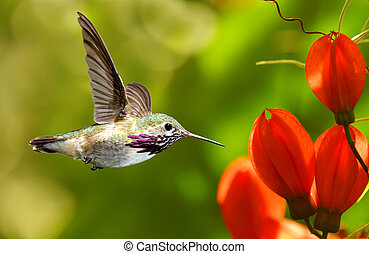 Hummingbird in Flight over Green Background - Hummingbird in...