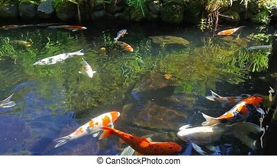 Koi fish swimming in pond 1080p