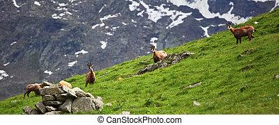wild chamois on alps - gran paradiso, italian alps, wild...