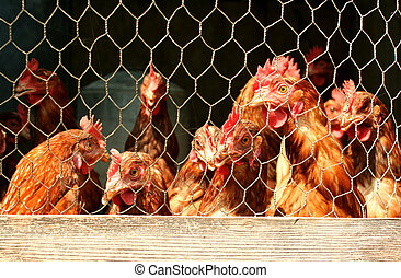Bunch of chickens in a coop - A Bunch of chickens in a coop
