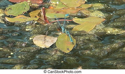 Dragonfly. - HD closeup shot of dragonflies on a bog.
