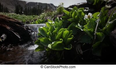 (1210) Mountain Stream Wildflowers - Classic High Mountain...