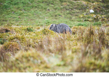 Wombat during the day - Wombat found during the day in...