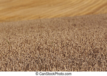 harvested and unharvested field with straw lines, summer...