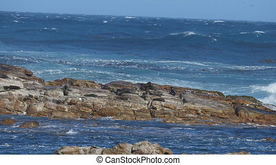 Huddle of sea lions at Cape of Good Hope