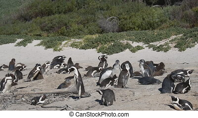 Penguins at Boulders Beach, Cape Town - Simons Town, South...