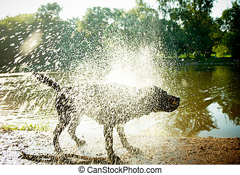 "Labrador Shaking Water off its Body, ""high-key\"" lighting."