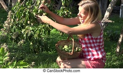 Gardener woman picking pear to wicker basket and tree branch full of ripe fruits.  4K