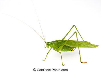 Katydid - Male Northern Bush Katydid (Scudderia...