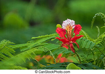 Closeup of red peacock flowers of Caesalpinia with blurred...