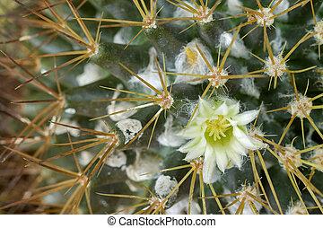 Macro of small yellowish white flower of Mammillaria cactus...