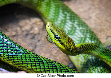 Red tailed Green Rat snake, with the body curled up