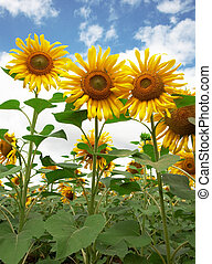 Beautiful sunflowers against the dark blue sky with clouds