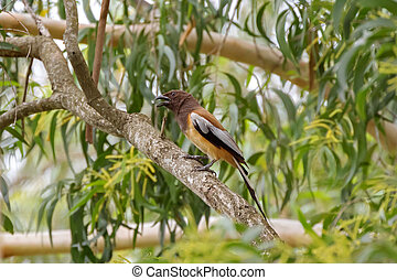 Rufous Treepie bird perching on tree branch in the forest in...