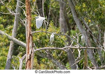Intermediate Egret flying and Little egret aquatic heron...