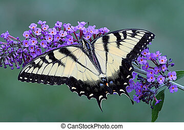Tiger Swallowtail (papilio glaucas) Butterfly on a purple...