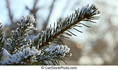 Snow on spruce branches.