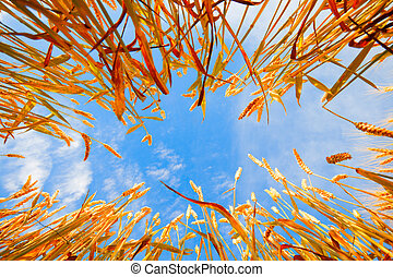 Wheat - Image of blue sky framed with wheat stalks
