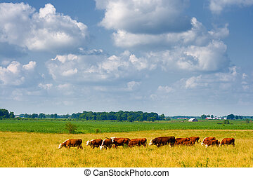 Farm - Central Indiana countryside with herd of cows in the...