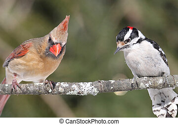 Pair of Birds on a Branch - Northern Cardinal and a Downy...