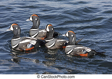 Harlequin Ducks - Flock of colorful male Harlequin Duck...