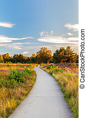 Blooming heathland with bicycle trail at the Dutch Veluwe -...