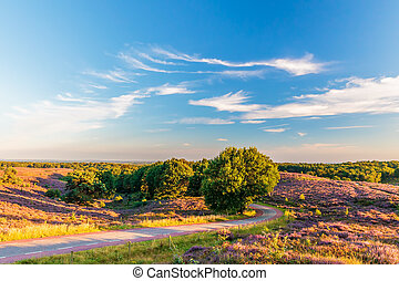 Blooming heathland with road at the Dutch Veluwe - Blooming...