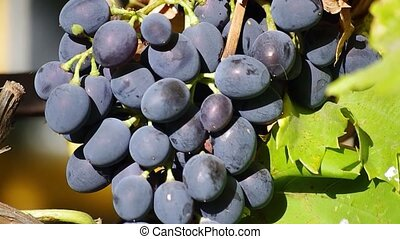 Aromatic black grapes - Bunches of Red Grapes Hanging in...