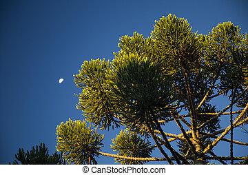 superior, araucaria, angustifolia, cielo, jordao, Plano de...