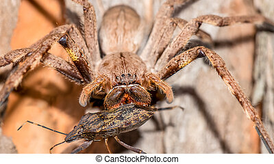 Male Rain Spider with prey - Large Male Palystes...