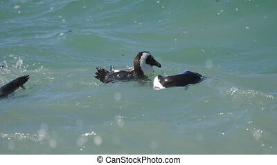 Penguins at Boulders Beach, Cape Town - Simon's Town, South...