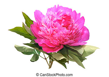 Pink peony isolated on a white background