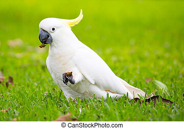 Wild Cockatoo Eating - A wild yellow-crested cockatoo...