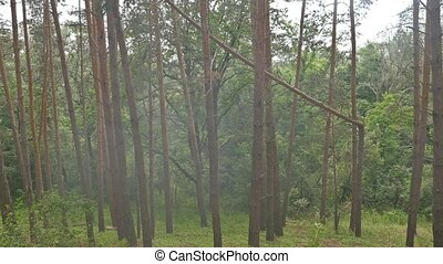 pine dense forest in the summer slow motion video - pine...