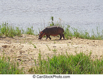 Hippo in Kruger National Park - A hippo at edge of a river...