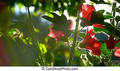 red flower on a green background dawn nature morning slow...