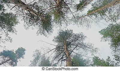 crown of pine against the sky slow motion video - cloudy...