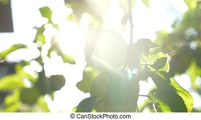 the apple tree green sunlight morning agriculture garden...
