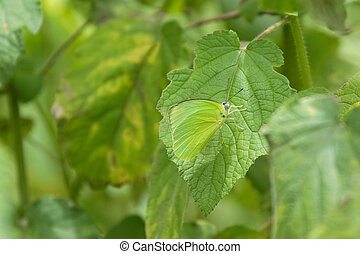 Male Common Lemon Emigrant butterfly in bright green...
