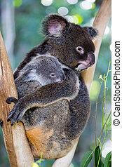 Koala and Joey - A koala and its joey sit in a tree in far...