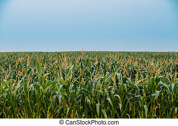 Green Boundless Maize Corn Field Plantation In Spring Summer...
