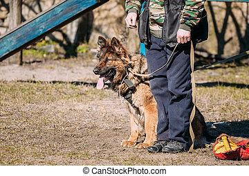 German Shepherd Dog Training. Alsatian Wolf Dog. Deutscher,...